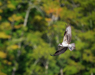 Osprey Photograph - Osprey by Bill Wakeley