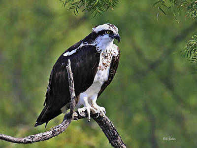 Photograph - Osprey by Bob Zeller