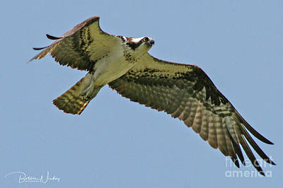 Clouds Rights Managed Images - Osprey Royalty-Free Image by Bobbie Nickey