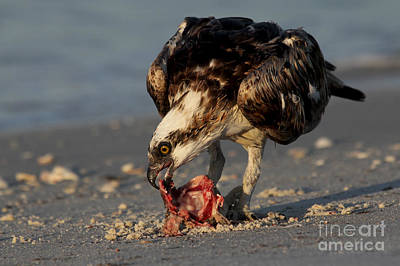 Photograph - Osprey - Breakfast On The Beach by Meg Rousher
