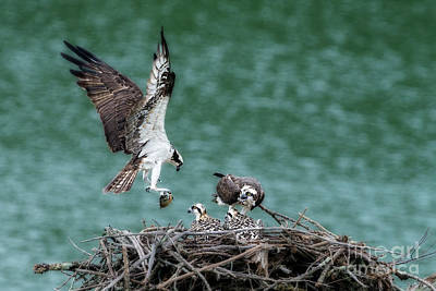 Photograph - Osprey Bringing Fodd To The Babies by Dan Friend