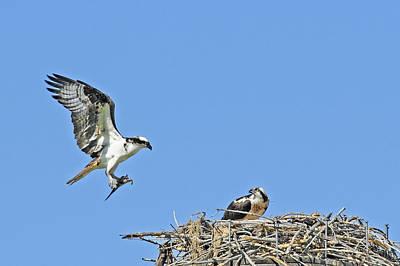 Osprey Brings Fish To Nest Art Print