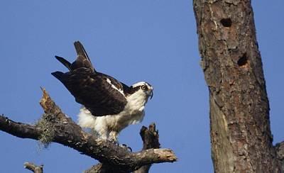 Photograph - Osprey by Bruce W Krucke