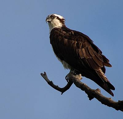 Photograph - Osprey by Buddy Scott