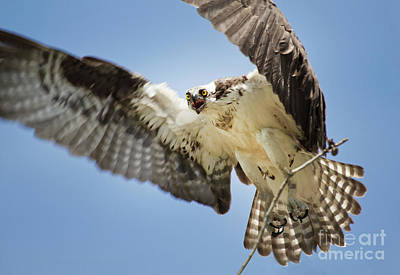 Photograph - Osprey Building A Nest On The James River by Karen Jorstad