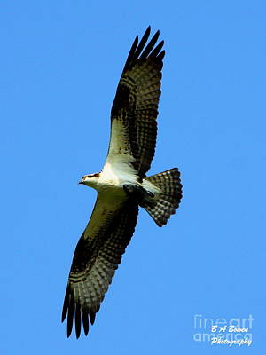 Photograph - Osprey Carrying A Fish by Barbara Bowen