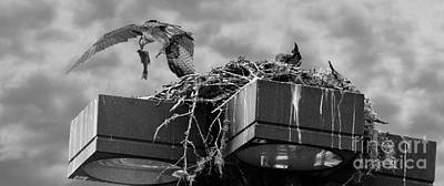 Osprey Carrying Fish To Nest Art Print