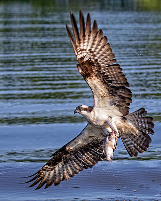 Photograph - Osprey Catch by Alan Raasch