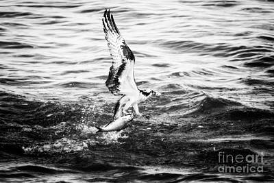 Photograph - Osprey Catch by Michael McStamp