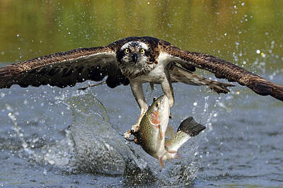 Action Photograph - Osprey Catching Trout by Scott  Linstead