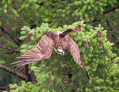 Photograph - Osprey Changes Its Mind by Loree Johnson