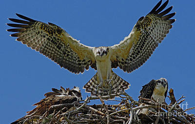 Photograph - Osprey Chick Ready To Fledge by Larry Nieland
