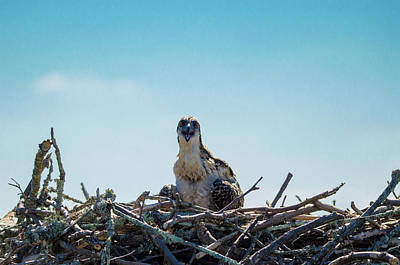 Photograph - Osprey Chick Smiles For The Camera by Jeff at JSJ Photography
