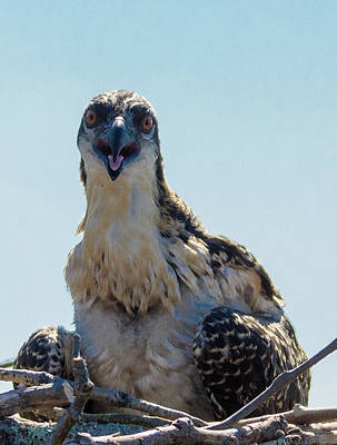 Photograph - Osprey Chick Smiles For The Camera Macro by Jeff at JSJ Photography