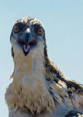 Photograph - Osprey Chick Smiles For The Camera Ultra Macro by Jeff at JSJ Photography