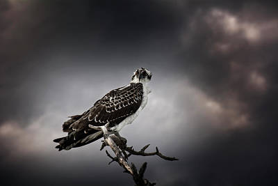 Photograph - Osprey by Chrystal Mimbs