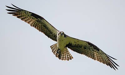 Photograph - Osprey Comin' At Ya by Loree Johnson
