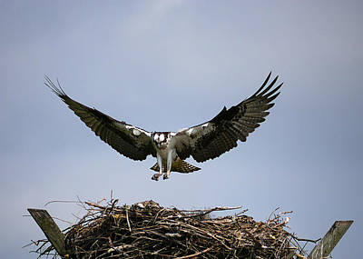Photograph - Osprey Coming Home by Richard Reeve