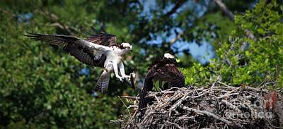 Photograph - Osprey Dad Bringing Home Dinner by Paulette Thomas