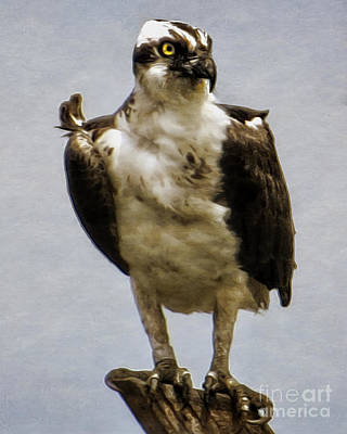 Photograph - Osprey  by Dawn Gari