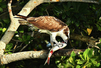Photograph - Osprey Dining by Alan Lenk