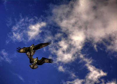 Photograph - Osprey Dog Fight by Chrystal Mimbs