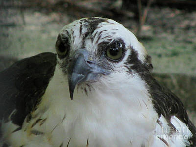 Photograph - Osprey Portrait by Donna Brown