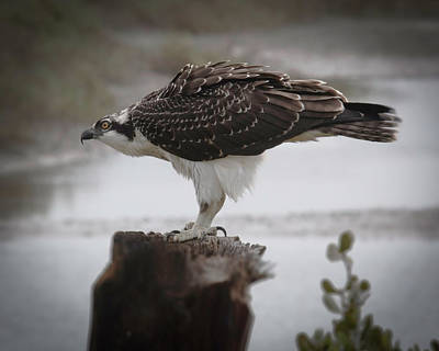 Photograph - Osprey by Dusty Wynne
