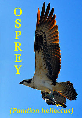 Photograph - Osprey Educational by David Lee Thompson