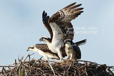 Photograph - Osprey Family 1 by Captain Debbie Ritter