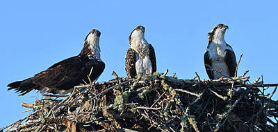 Photograph - Osprey Family by Ken Stampfer
