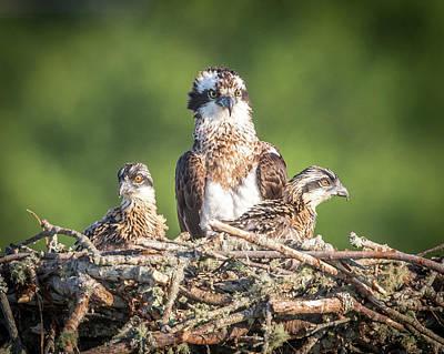 Photograph - Osprey Family by Paul Treseler