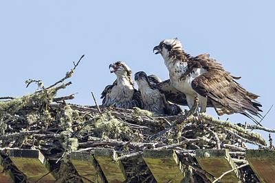 Photograph - Osprey Family Portrait No. 2 by Belinda Greb