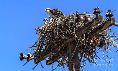 Photograph - Osprey Family by Robert Bales