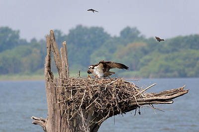 Photograph - Osprey Family by Susan Rissi Tregoning