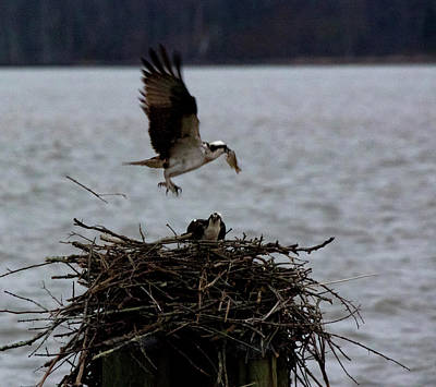 Photograph - Osprey Feeding by Buddy Scott