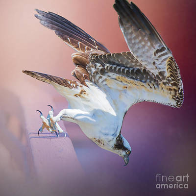 Antique Photograph - Osprey Feeding By Darrell Hutto by J Darrell Hutto