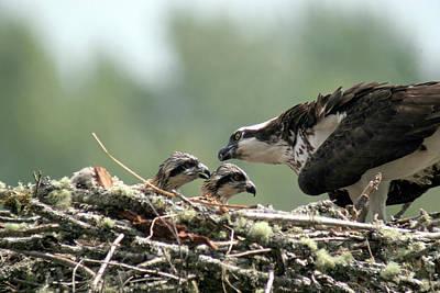 Photograph - Osprey Feeding Chicks by Craig Strand