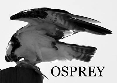 Photograph - Osprey Feeding by David Lee Thompson