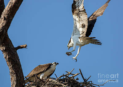 Photograph - Osprey Feeding Time by Brad Marzolf Photography