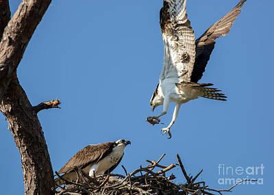 Photograph - Osprey Feeding Time by Brad Marzolf Photography