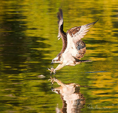 Dan Beauvais Royalty-Free and Rights-Managed Images - Osprey Fishing 2595 by Dan Beauvais
