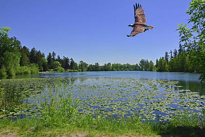 Photograph - Osprey Fishing At Wapato Lake by Jack Moskovita