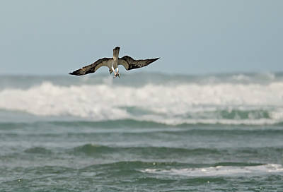 Photograph - Osprey Fishing In The Surf by Loree Johnson
