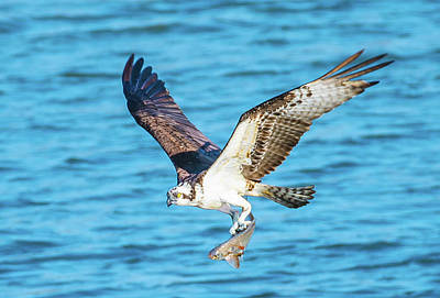 Photograph - Osprey Fishing Success by Jeff at JSJ Photography