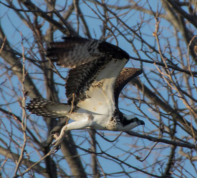 Photograph - Osprey Flight In Tree by Buddy Scott