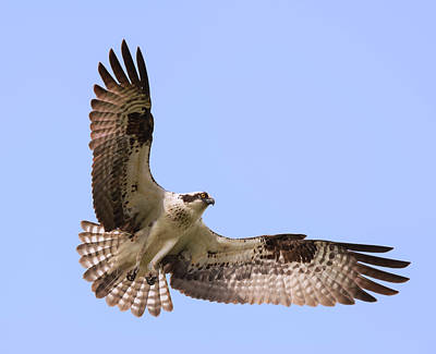 Photograph - Osprey Flourish by Loree Johnson