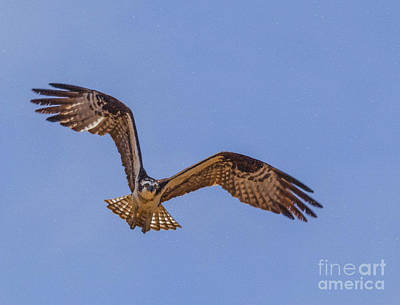 Osprey Digital Art - Osprey Flying Against Clear Blue Sky by Liz Leyden