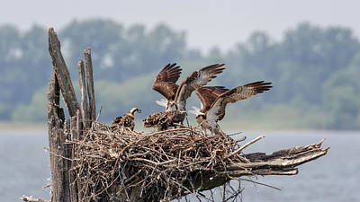 Photograph - Osprey Flying Class by Susan Rissi Tregoning