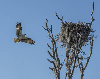 Photograph - Osprey Flying Home by William Bitman